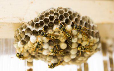 News 2021/33: Nester von Wespen, Hornissen und Hummeln – wer hilft?